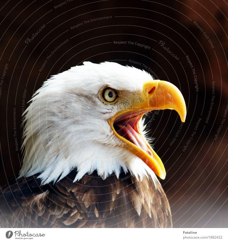 bawler Environment Nature Animal Wild animal Bird Animal face 1 Free Bright Near Natural Brown Yellow White Bald eagle Eagle Beak Eyes Feather Colour photo