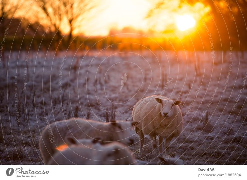 Winter is coming Environment Sunrise Sunset Sunlight Beautiful weather Ice Frost Snow Meadow Field Animal Farm animal Pelt Herd Observe Fat Wool Warmth Sheep