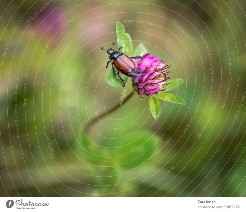 Not eery, egregious Nature Plant Animal Summer Beautiful weather Leaf Blossom Agricultural crop red clover blossom Meadow Insect Beetle julikäfer