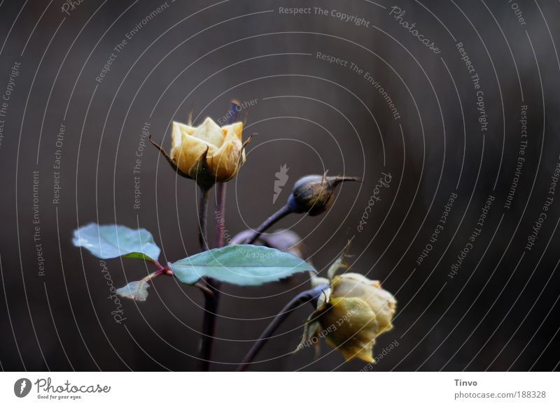 Nature Beautiful Plant Loneliness Dark Death Blossom Sadness Park Flower Rose Grief Change Transience Frozen Fragrance
