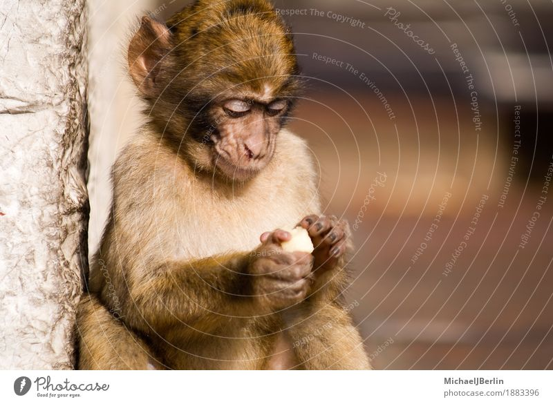 Monkey in Gibraltar concentrates on his food Detached house Animal Monkeys 1 Eating Concentrate Free Colour photo Exterior shot Day Central perspective