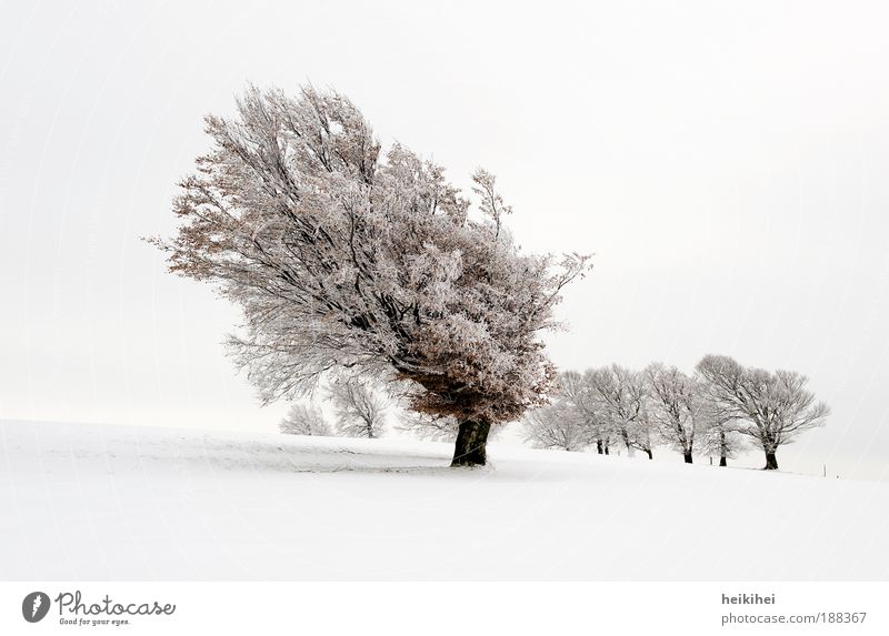 snow beech Environment Nature Landscape Plant Sky Winter Snow Meadow Mountain Breathe Brown Black White Emotions Moody Calm Day Colour photo Subdued colour