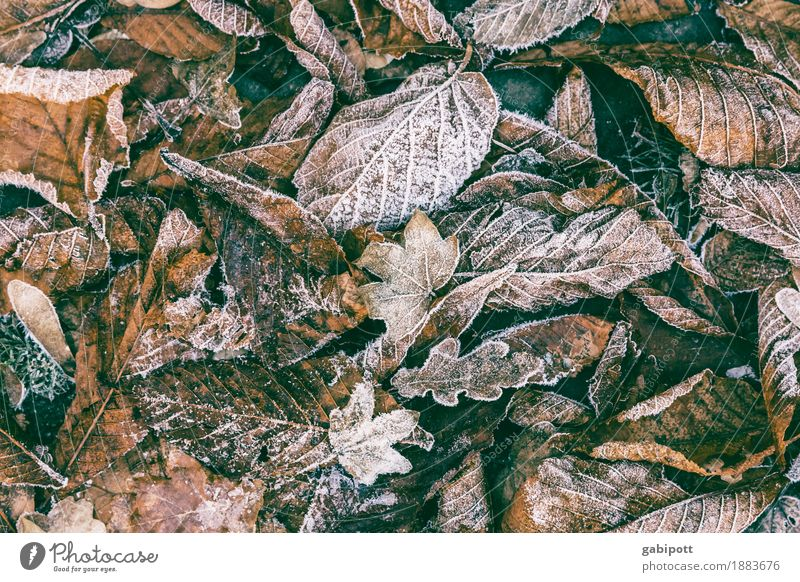 chill Environment Earth Winter Weather Beautiful weather Bad weather Ice Frost Snow Leaf Brown Beginning Cold Decline Transience Time Freeze Colour photo