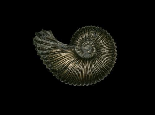 angulaticeras ventricosum Animal Inspiration ammonite Collection Paleontology Accumulate Jurassic system Lias Arienton praise line Pyrite pyrite stone core