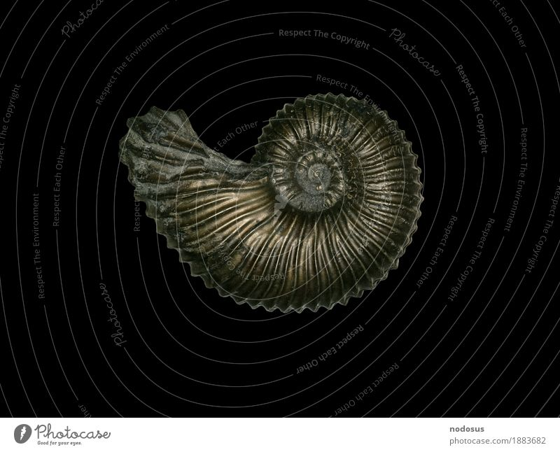 Animal Collection Inspiration Accumulate Fossil Pyrite Ammonite Paleontology