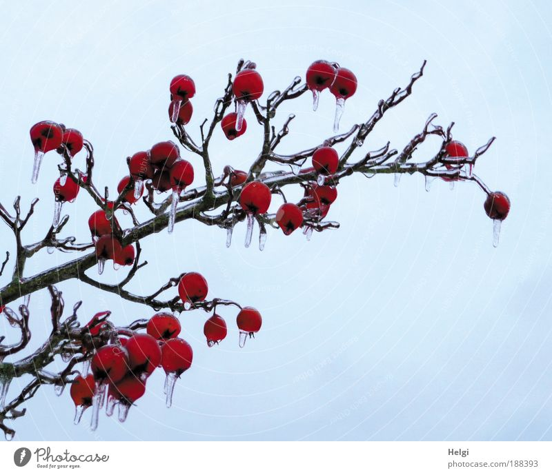 Sky Nature Blue Plant Beautiful Red Winter Cold Environment Natural Small Exceptional Brown Ice Weather Growth