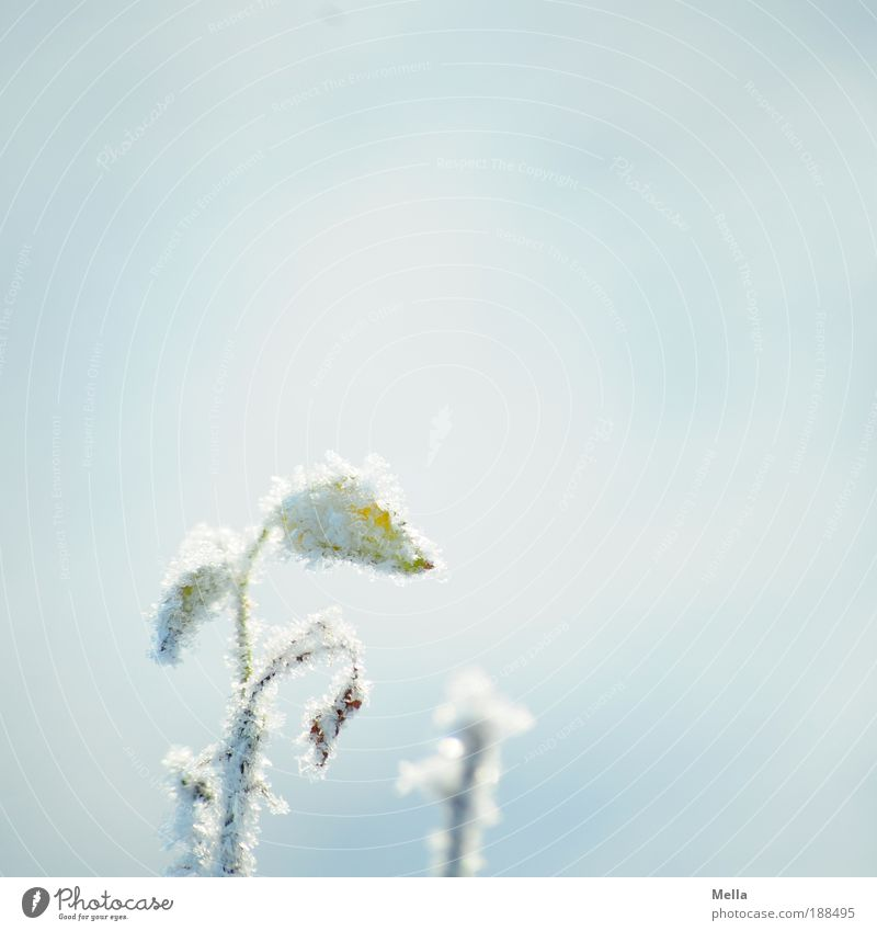 Nature White Flower Plant Winter Leaf Cold Snow Blossom Ice Bright Weather Environment Rose Esthetic Frost