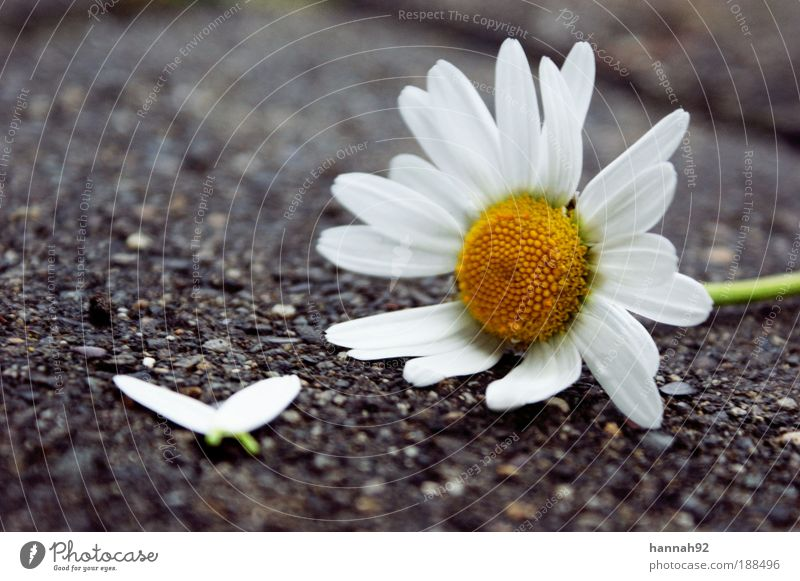 Nature White Plant Flower Leaf Yellow Emotions Blossom Spring Hope Daisy Infatuation Marguerite