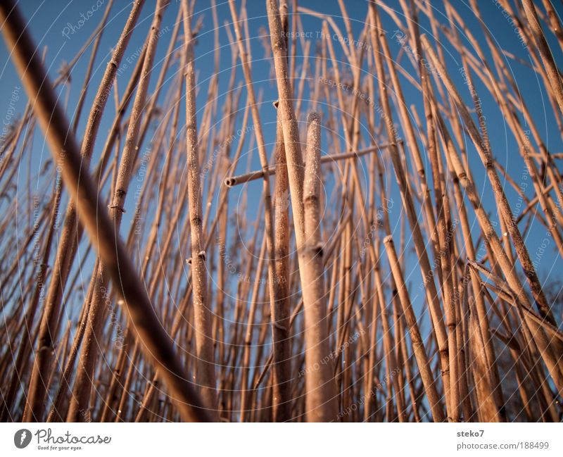 reed bed Ice Frost Coast Lakeside Thin Gigantic Tall Cold Near Bend Delicate Close-up Deserted Dawn Tilt
