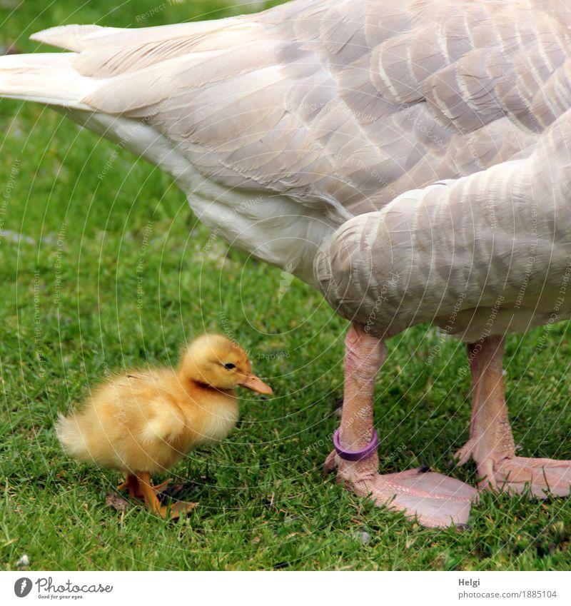 always close to mama... Environment Nature Plant Animal Spring Beautiful weather Grass Meadow Pet Farm animal Bird Goose Gosling Feather Animal foot 2