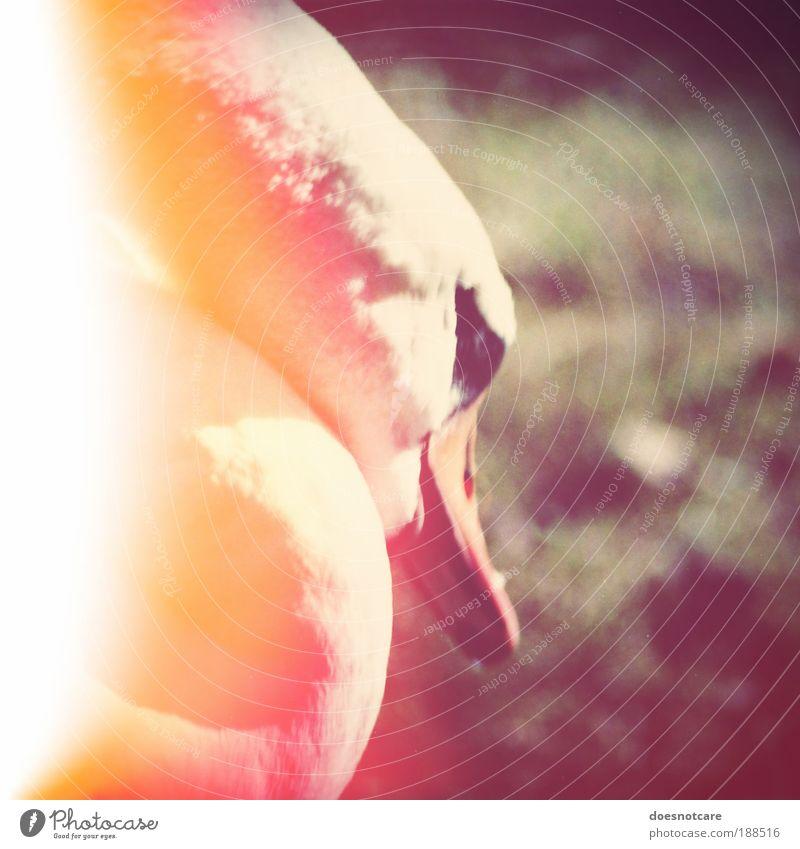 nuclear kitsch. Animal Sleep Swan Light leak Patch of light Bird Square White Radiation Radioactivity Environmental pollution Threat Colour photo Exterior shot
