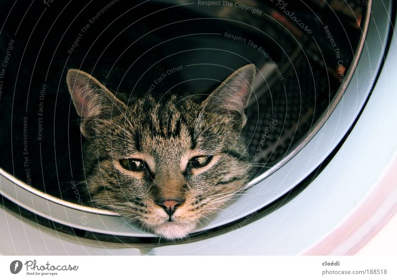 cat wash Washer Animal Pet Cat 1 Observe Cuddly Brown Gray Black White Interior shot Copy Space right Copy Space top Animal portrait Looking into the camera
