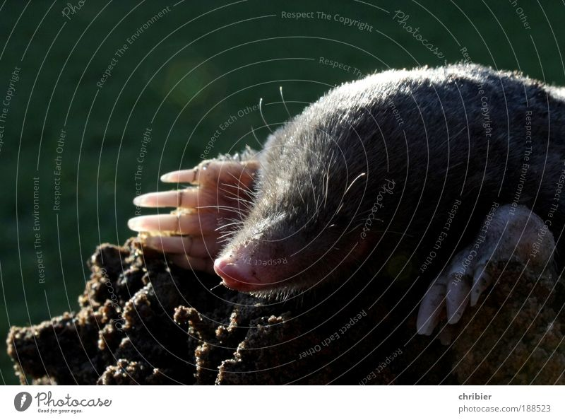 Did you put it on my head? Earth Meadow Hill Tunnel Animal Claw Mole 1 Crawl Lie Dream Exceptional Dirty Cuddly Small Curiosity Cute Smart Brown Gray Green