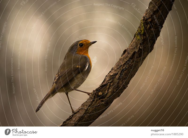 robin Environment Nature Animal Autumn Winter Tree Garden Park Forest Wild animal Bird Animal face Wing Robin redbreast 1 Observe Esthetic Friendliness Natural