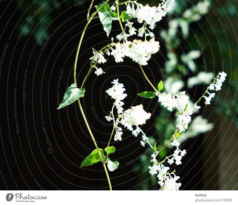 knot oak Green White Creeper Leaf Blossom