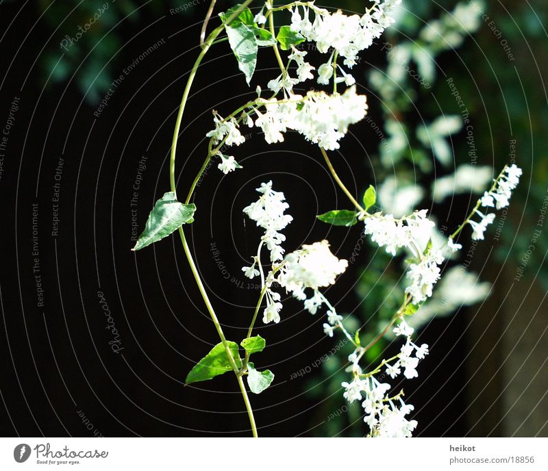 White Green Leaf Blossom Creeper