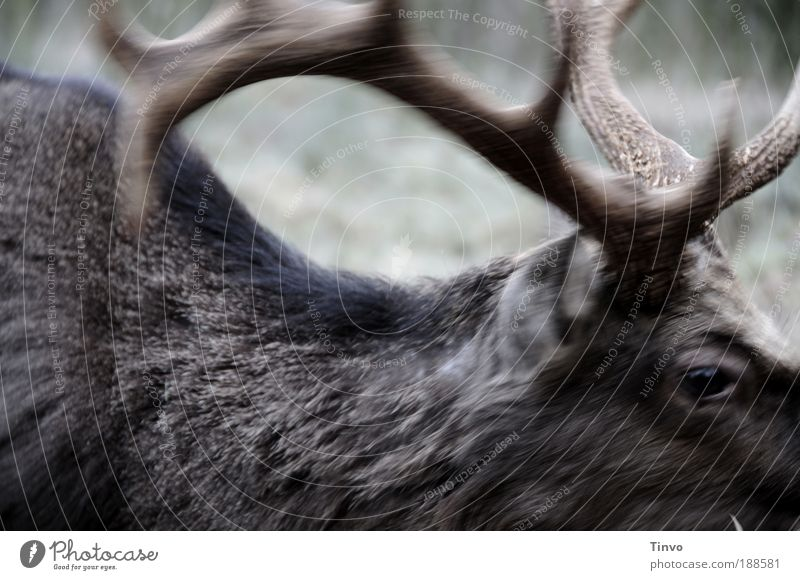Deer Heinrich Animal 1 Movement Strong Wild Power Might Pelt antlers Sika deer animal eye Nature Wilderness Colour photo Subdued colour Exterior shot Close-up