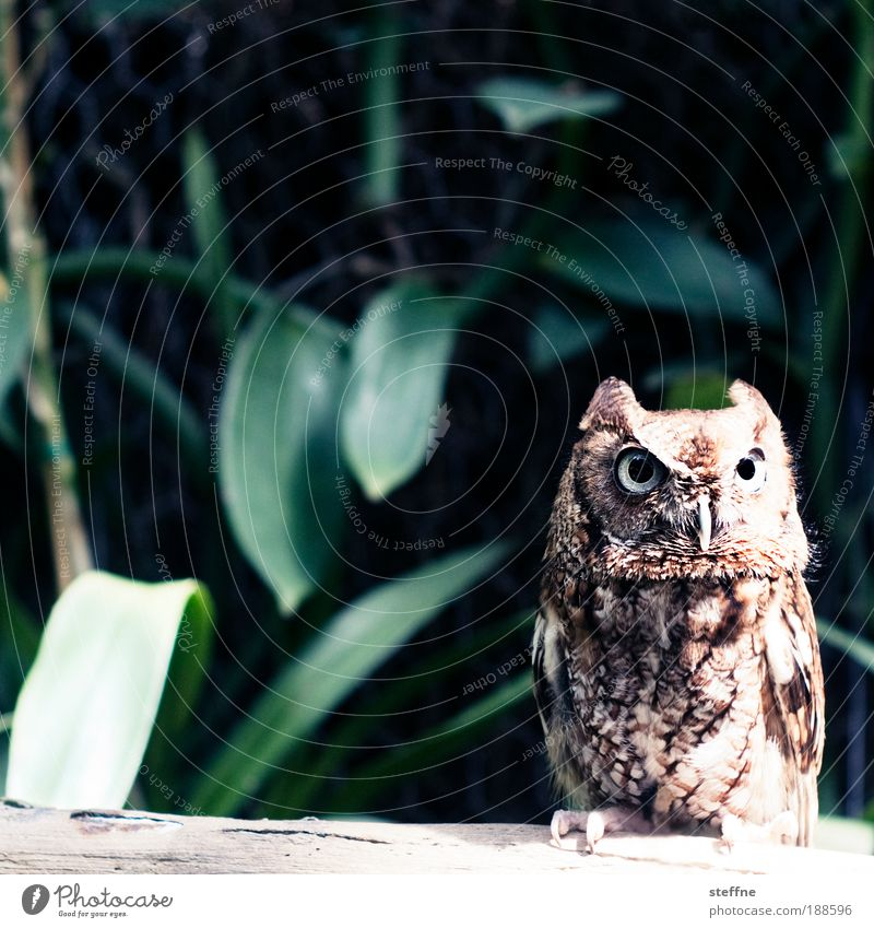 SUPER OWL Florida Florida Keys Animal Wild animal Owl birds Eagle owl Looking Colour photo Exterior shot Animal portrait