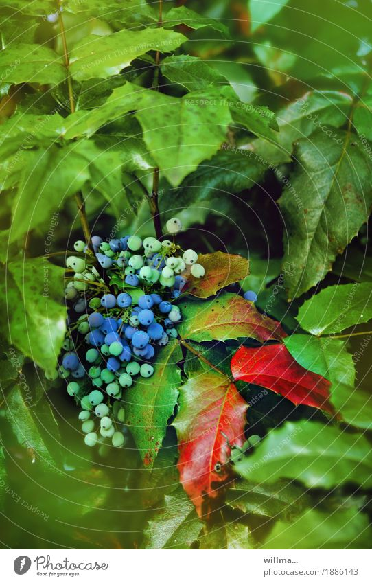 Nature Plant Blue Green Red Bushes Berries Angiosperm Berry bushes Evergreen plants Berry seed head Barberry