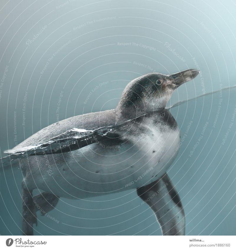 Animal Baby animal Swimming & Bathing Fat Penguin Slate blue Queer fish