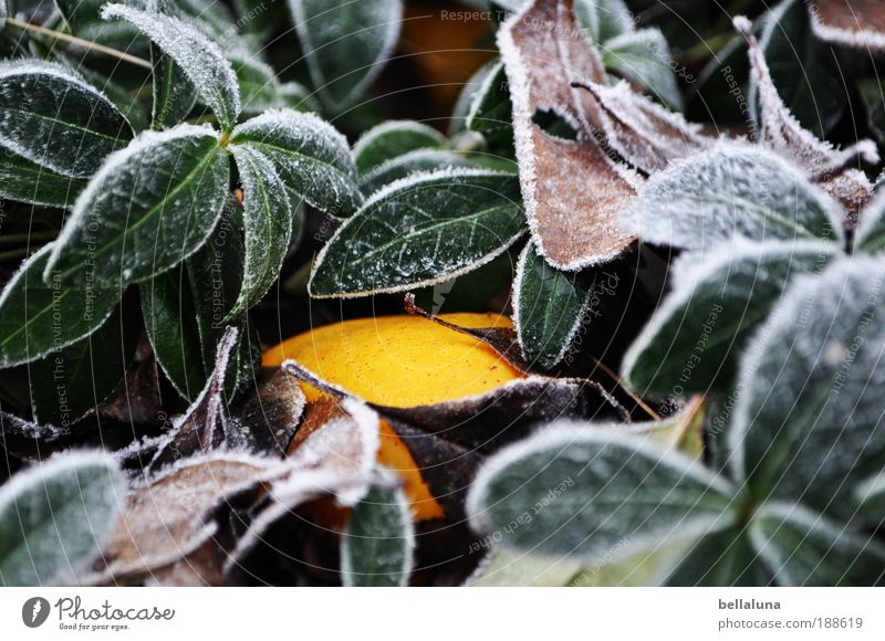 Search picture - Wild Quince Environment Nature Plant Climate Weather Beautiful weather Ice Frost Bushes Leaf Foliage plant Wild plant Cold Yellow Colour photo