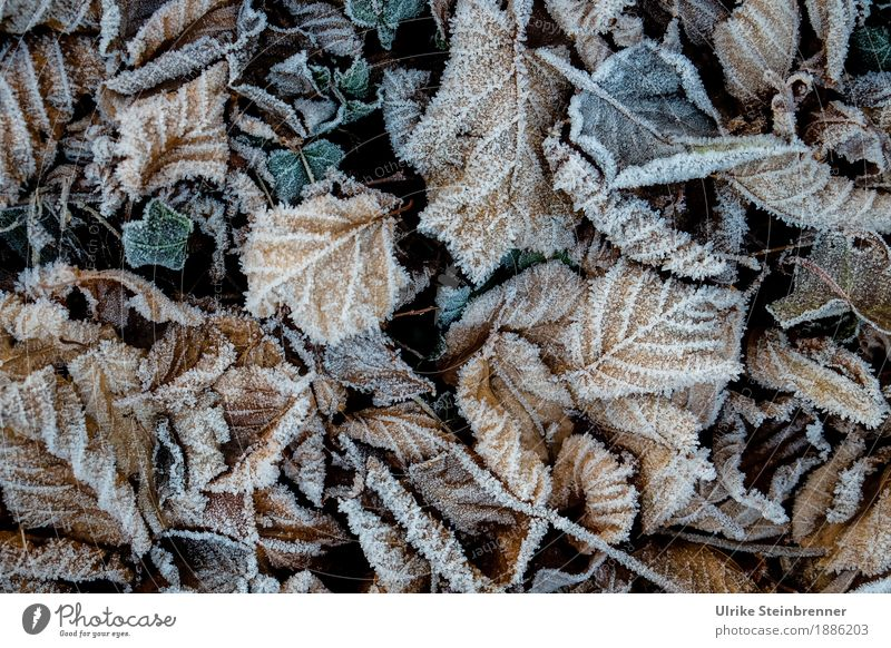 hoarfrost 1 Environment Nature Plant Autumn Winter Ice Frost Leaf Garden Park Meadow Cold Natural Change Hoar frost Autumn leaves Ivy Ground cover plant