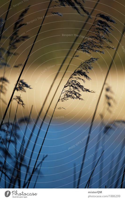 Morning reeds. Art Esthetic Common Reed Coast Lakeside River bank Grass Wind Decent Remote Nature Colour photo Multicoloured Exterior shot Detail Deserted