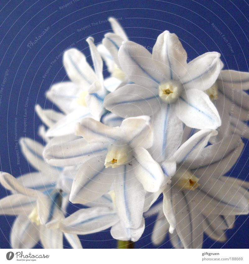 Nature Blue White Beautiful Plant Flower Blossom Spring Small Elegant Fresh Happiness Natural Esthetic Growth Clean