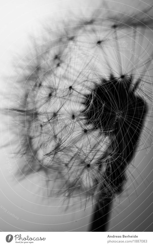 lightness Summer Nature Plant Wind Flower Jump Beautiful Soft Grief dandelion seed black dandilion white abstract flying close up bloom damaged head blowball