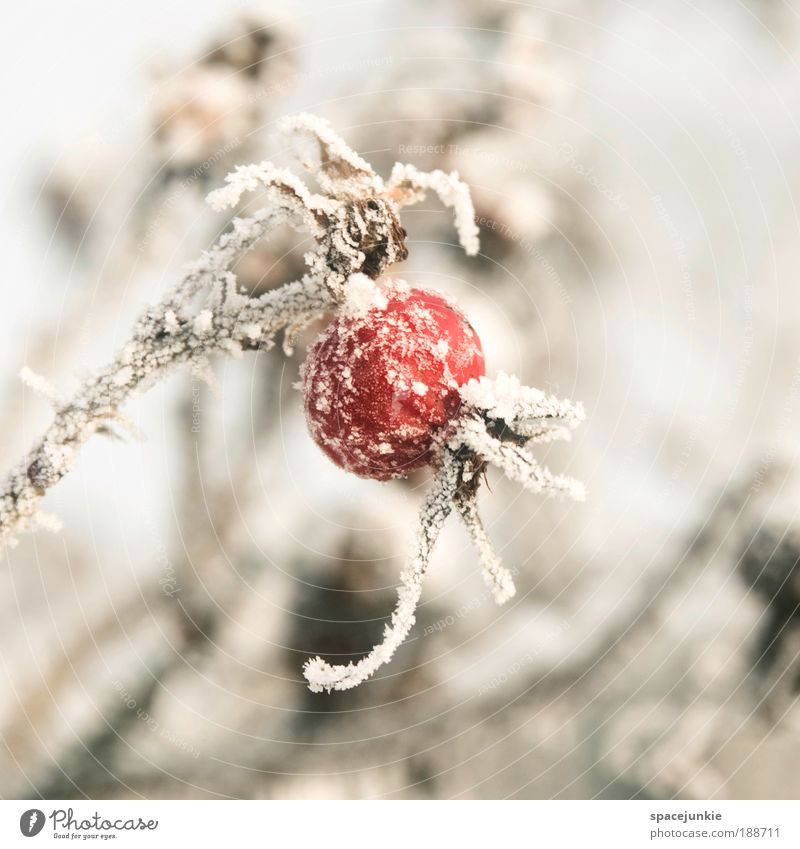 Red balloon Nature Winter Ice Frost Snow Plant Bushes Rose Wild plant Park Old Freeze Cold Fruit Colour photo Exterior shot Day Shallow depth of field