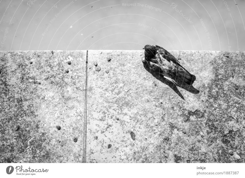 Pigeon at the abyss Deserted Cornice Concrete slab Edge Wild animal 1 Animal Crouch Looking Gloomy Town Old Wound City life Black & white photo Exterior shot