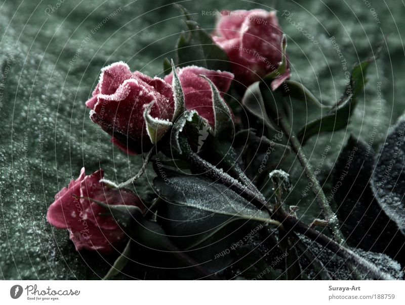 frosted Elegant Winter Nature Plant Climate Ice Frost Rose Esthetic Authentic Fresh Cold Pink Red Nostalgia frozen Flower Flower stalk Seasons November