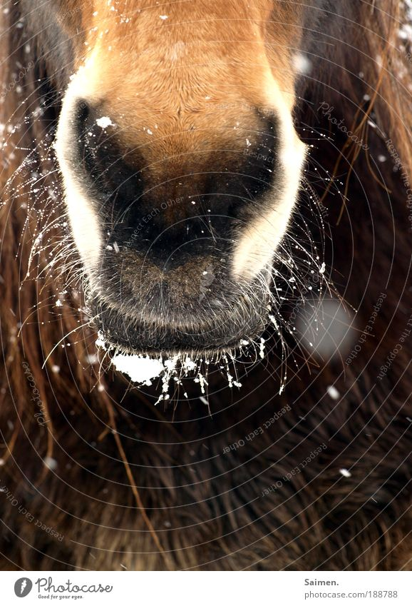 Nature Animal Cold Snowfall Brown Nose Environment Horse Threat Pelt Curiosity Freeze Breathe Respect Interest Timidity