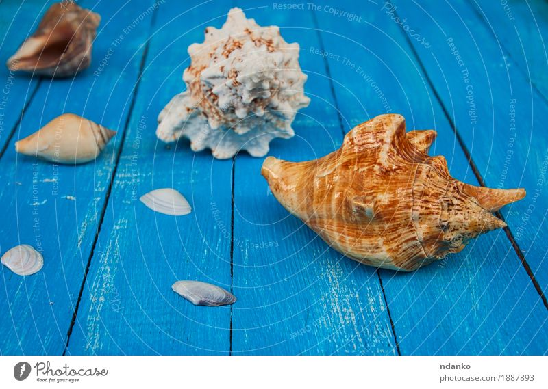 Seashells on a blue wooden background Nature Vacation & Travel Old Blue Summer Beautiful Ocean Natural Wood Conceptual design Tropical Shell Plank Mollusk