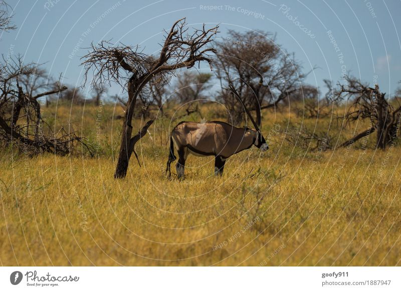 Oryx in the shade!!! Vacation & Travel Trip Adventure Far-off places Safari Summer Sun Environment Nature Landscape Sky Cloudless sky Sunlight Spring