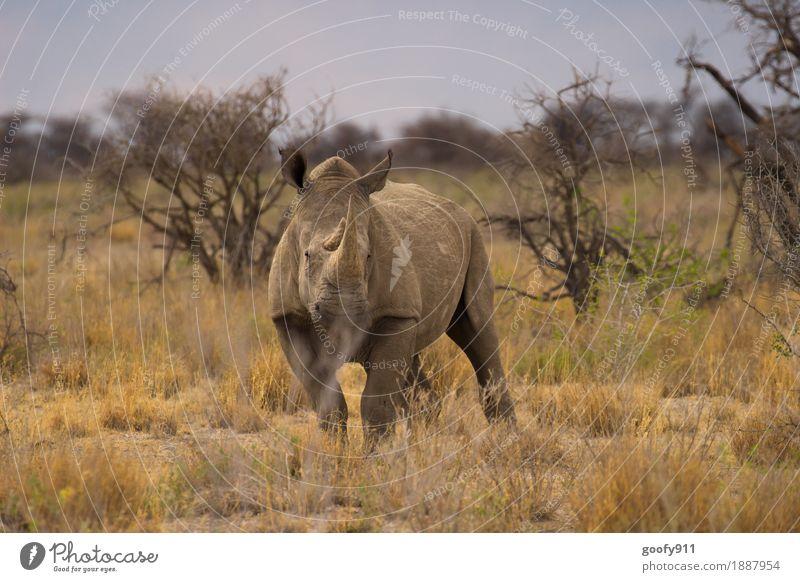 Rhino 1 Vacation & Travel Trip Adventure Far-off places Safari Summer Sun Environment Nature Landscape Sky Cloudless sky Beautiful weather Tree Bushes Desert
