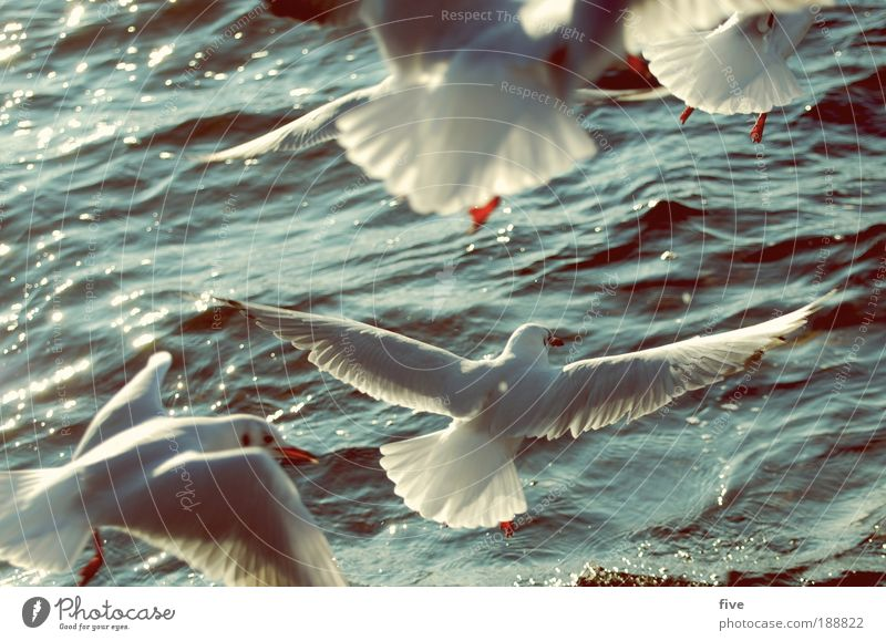 low-altitude flight Environment Nature Water Animal Bird Seagull 4 Group of animals Flying Free Infinity Freedom Lake White Colour photo Exterior shot Detail