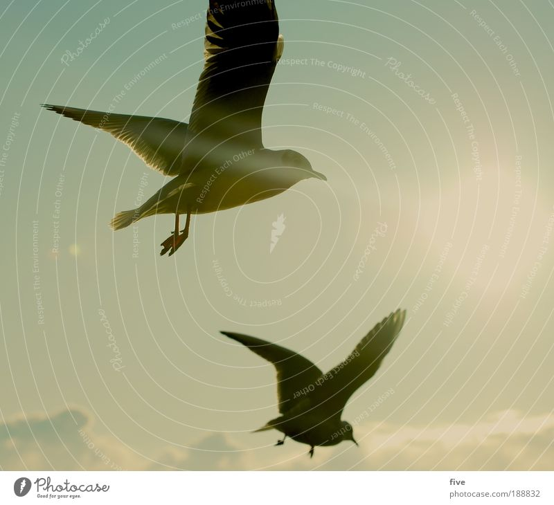 nosedive Sky Clouds Sun Sunlight Winter Animal Bird Seagull 2 Flying Free Freedom Wing Colour photo Exterior shot Light Back-light Day