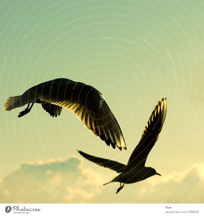 easy going Environment Nature Sky Clouds Animal Bird Seagull 2 Flying Free Happy Contentment Warm-heartedness Serene Calm Longing Freedom Wing Colour photo