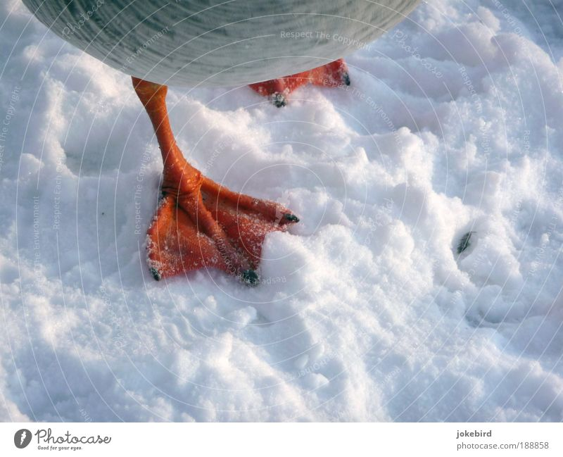 Cold feet? Snow Animal Bird Goose Wild goose Animal foot Webbing Feather Claw Freeze Red White Fear Fear of death Fear of the future Timidity Stress Movement