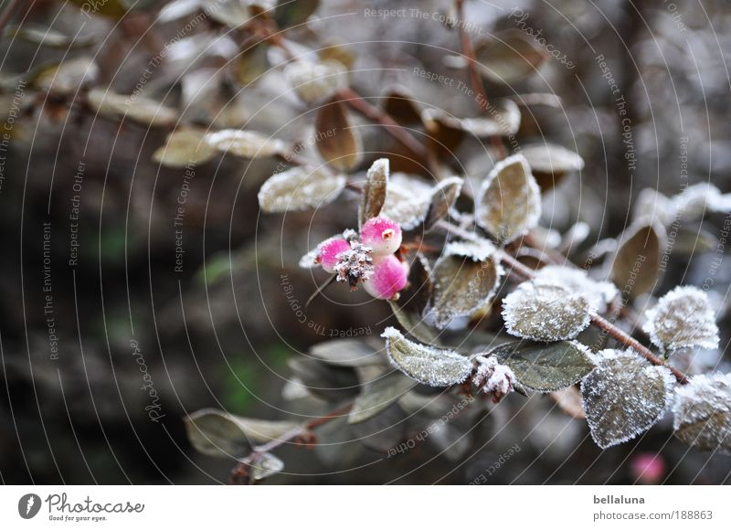 Nature Plant Leaf Winter Cold Snow Environment Ice Climate Bushes Frost Berries Hoar frost Morning Wild plant