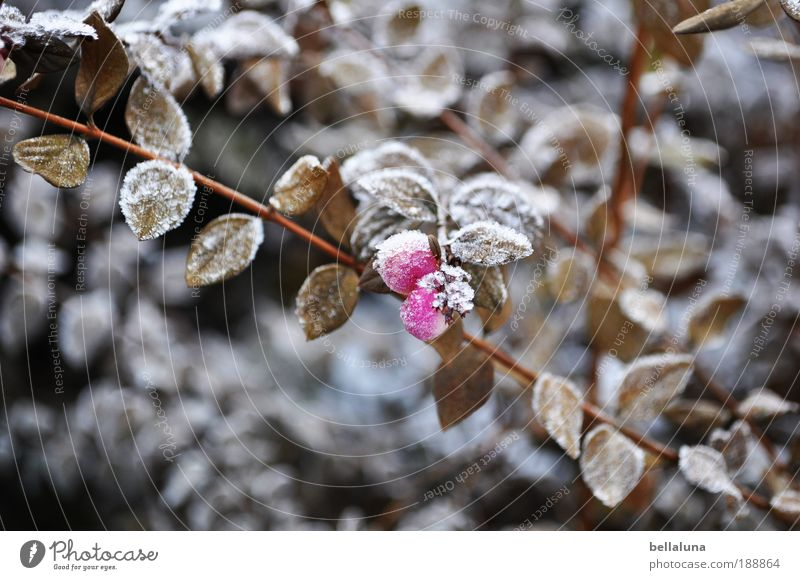 Nature Plant Leaf Cold Ice Weather Environment Frost Bushes Climate Beautiful weather Berries Hoar frost Ice crystal Wild plant Berry bushes