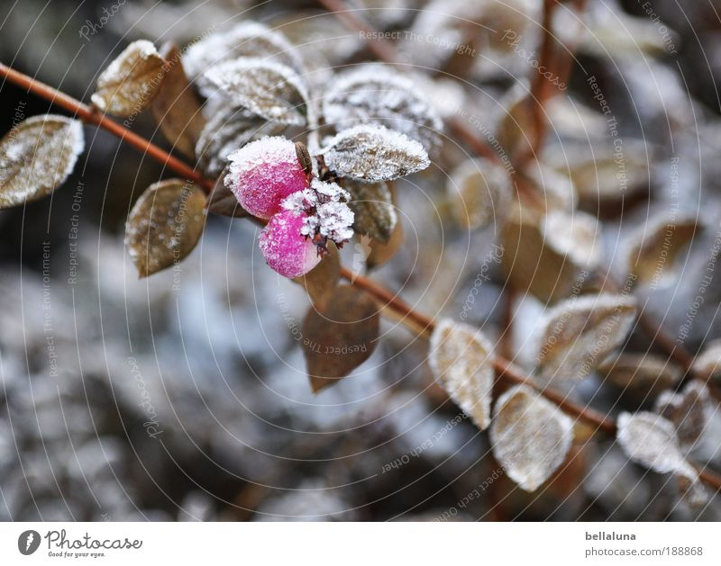 Nature Plant Leaf Winter Cold Snow Environment Ice Climate Bushes Frost Beautiful weather Berries Ice crystal Hoar frost