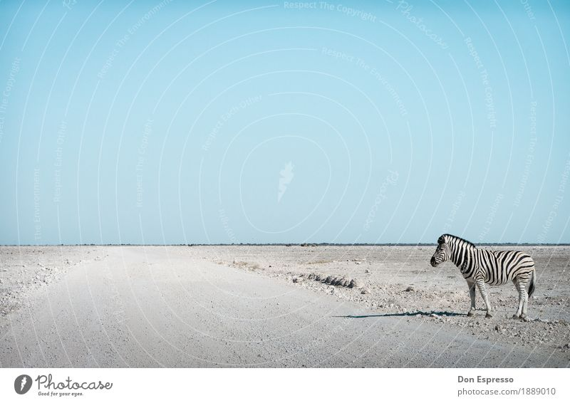 zebra crossing Vacation & Travel Tourism Adventure Far-off places Freedom Safari Nature Landscape Cloudless sky Warmth Drought Desert Animal Wild animal Zebra
