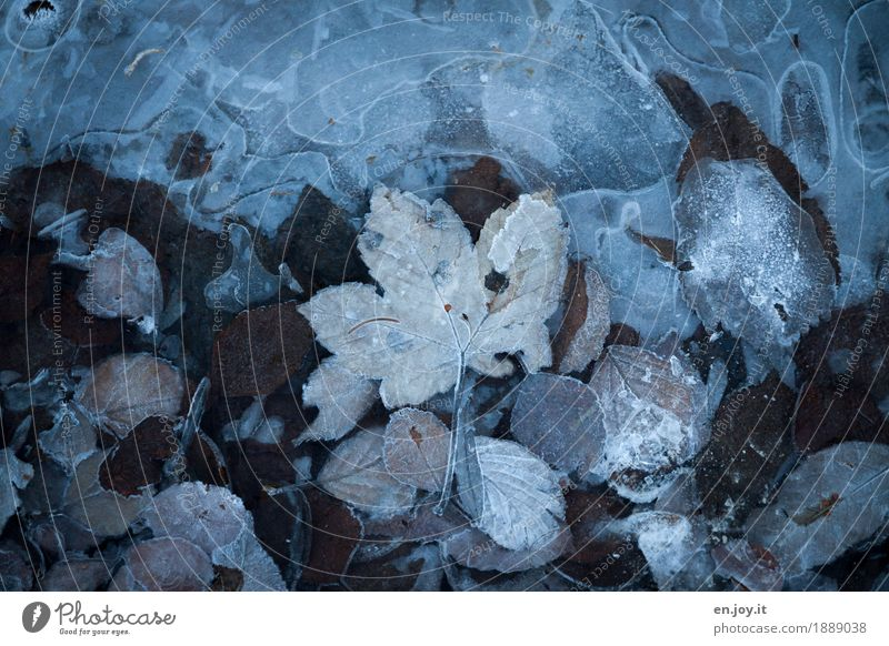 ice age Nature Plant Autumn Winter Climate Climate change Ice Frost Leaf Freeze Cold Brown Dream Sadness Grief Lovesickness Bizarre Transience Change Frozen