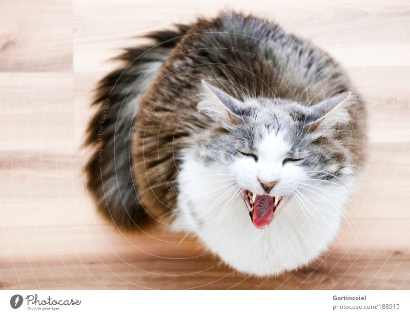 What's Uuuuup Animal Pet Cat Animal face Pelt Whisker Eyes Ear Long-haired Angora cat Muzzle Meow Set of teeth Domestic cat Wooden floor Brash Funny Cute Crazy