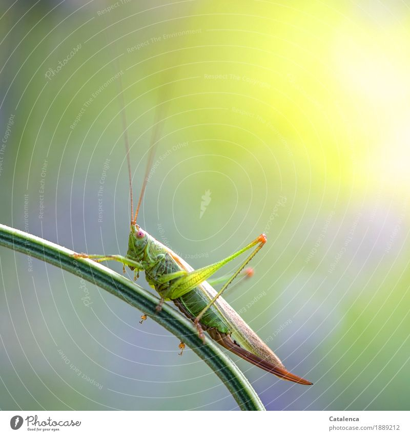 hop Summer Meadow Insect Locust 1 Animal Observe Crouch Esthetic Brown Yellow Green Violet Pink Watchfulness Design Environment Environmental protection