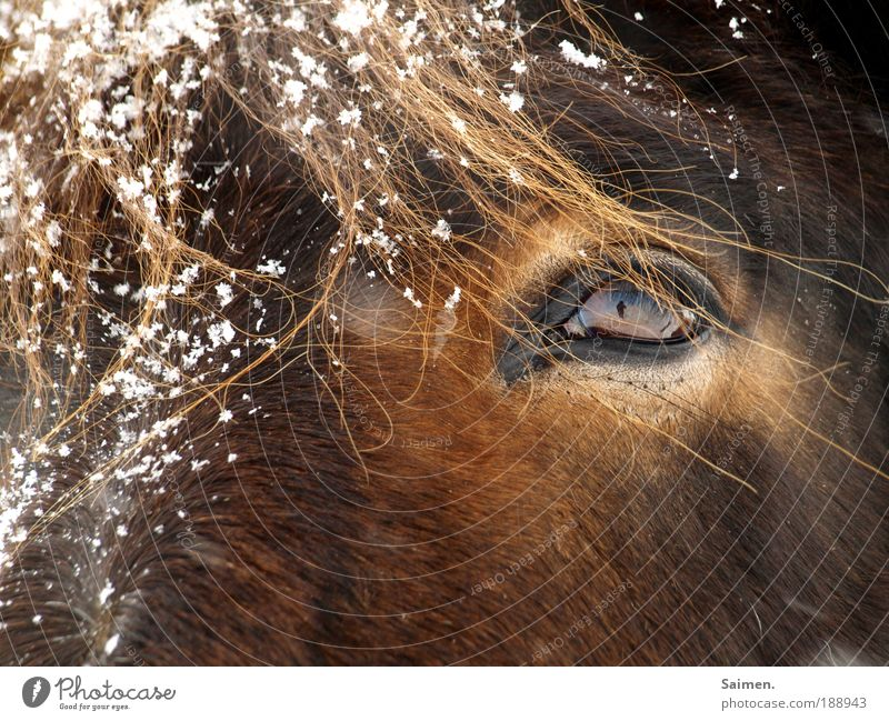 2 ponies Winter Snow Snowfall Animal Farm animal Horse 1 Cold Wet Brown Elegant Nature Eyes Pony Self portrait Pelt Coat color Eyelash me in the eye