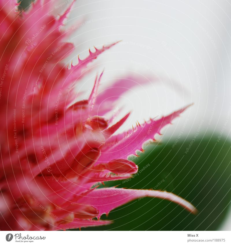 pink Nature Plant Spring Summer Flower Bushes Cactus Leaf Blossom Pot plant Beautiful Thorny Pink Blossom leave Colour photo Multicoloured Interior shot