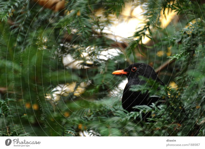 Blackbird (Turdus merula) N°3 Environment Nature Plant Animal Tree Leaf Garden Park Forest Wild animal Bird Animal face Wing 1 Crouch Looking Wait Natural Green